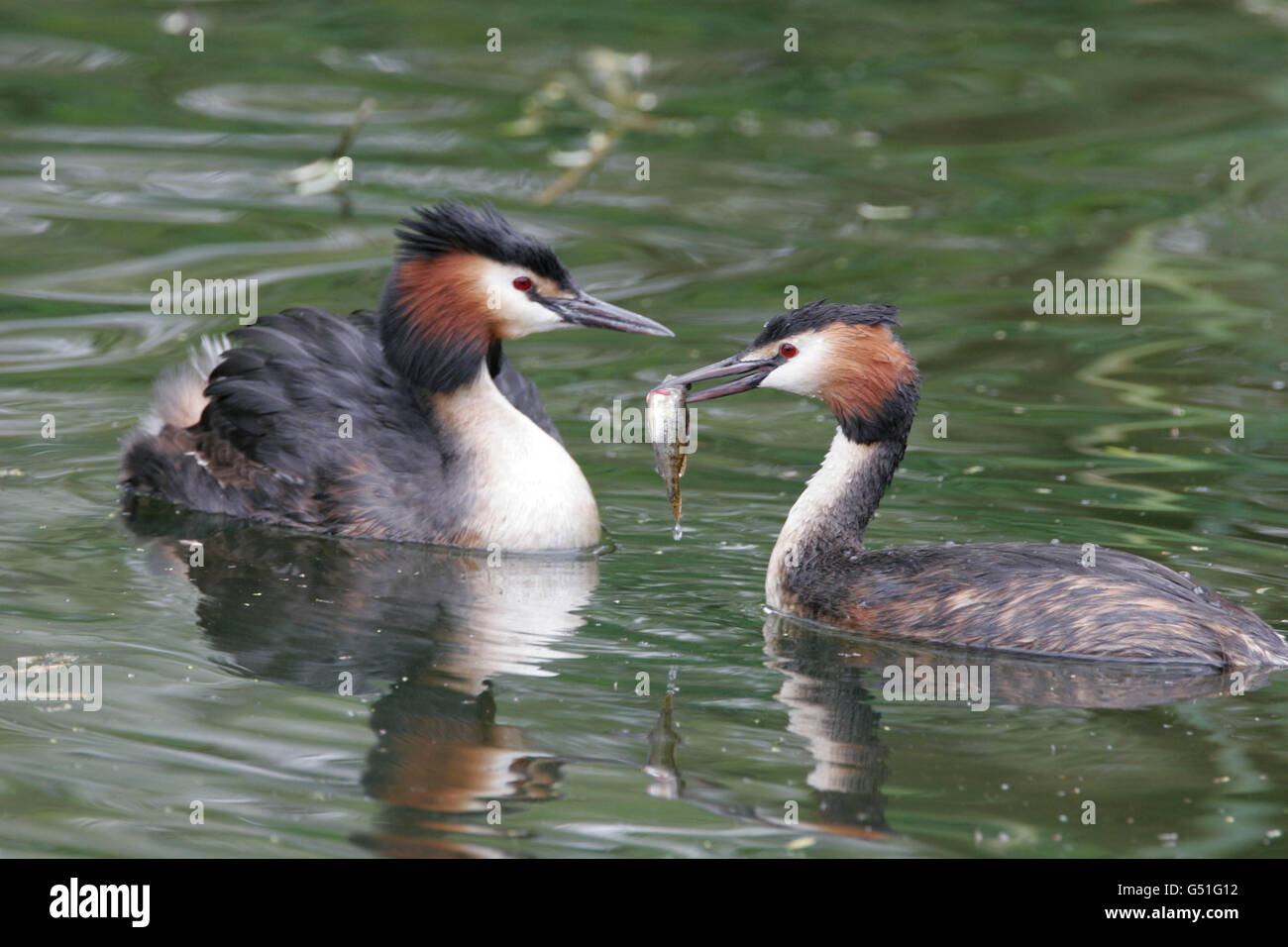Great-crested Grebes, Podiceps cristatus, pair of adults with fish. Taken May. Lea Valley, Essex, UK. - Stock Image