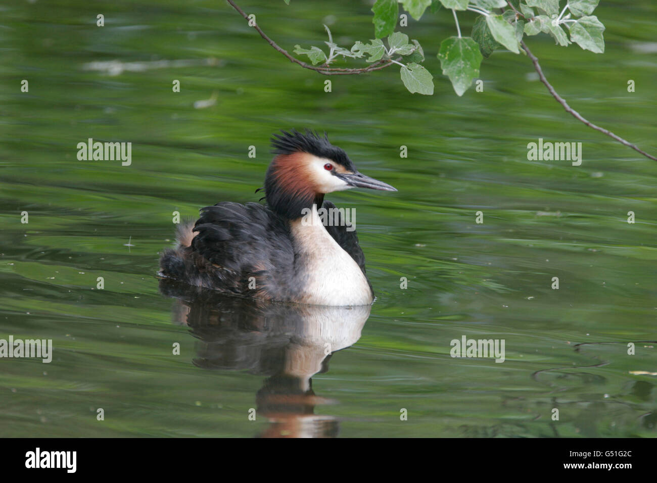 Great-crested Grebe, Podiceps cristatus, single adult swimming. Taken May. Lea Valley, Essex, UK. - Stock Image