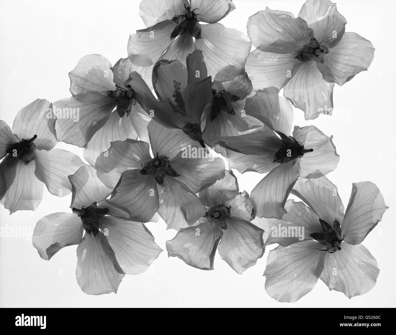 Morning Glory flowers with light passing through them on a translucent background - Stock Image