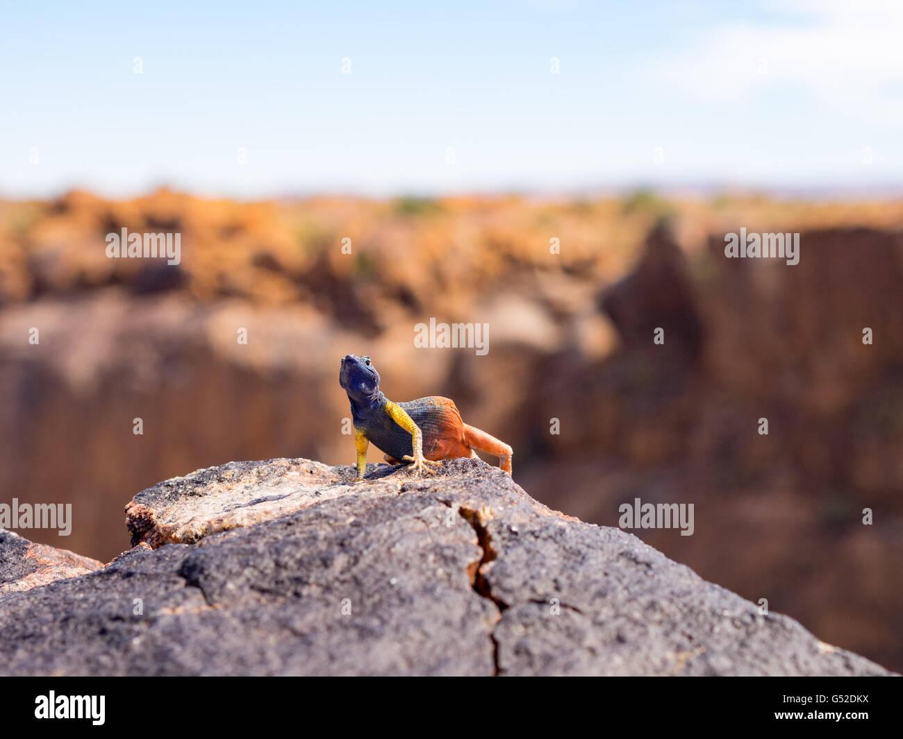 South Africa, North Cape, Benede Oranje, Augrabies Falls National Park, Lizard on Rock, Platysaurus Broadleyi Stock Photo