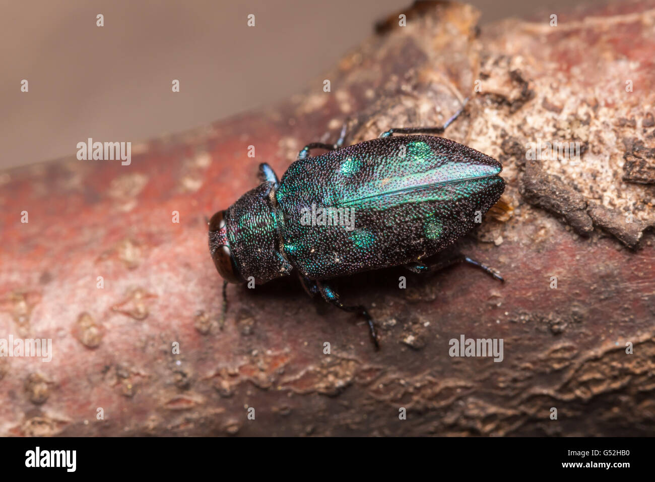 A Metallic Wood-boring Beetle (Chrysobothris azurea) explores a branch of a fallen oak tree. - Stock Image
