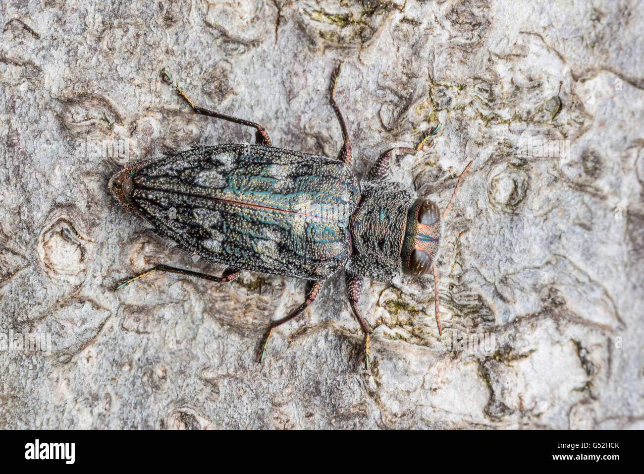 A Metallic Wood-boring Beetle (Chrysobothris rugosiceps) perches on the trunk of a fallen oak tree. - Stock Image