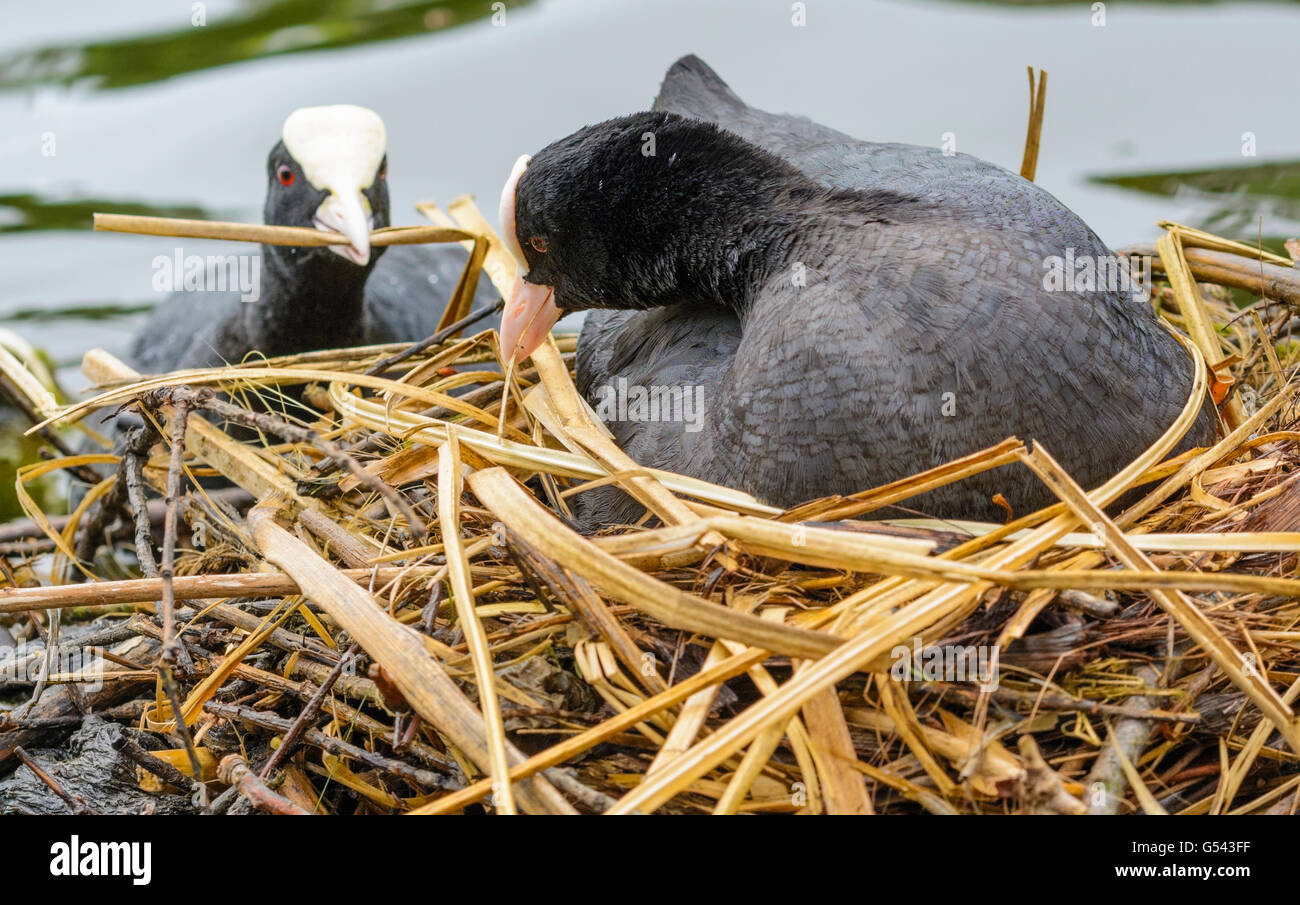 A pair of Coots (Fulica atra) building a nest on a lake in the UK. Stock Photo