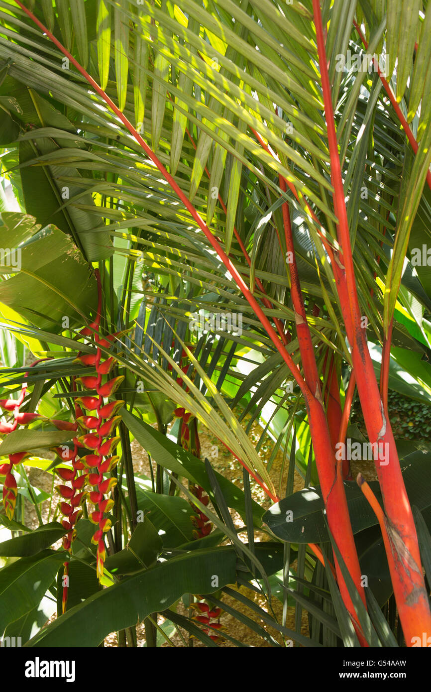 Sri Lanka, Galle Province, Unawatuna, Heliconia flowering under red spined palm - Stock Image