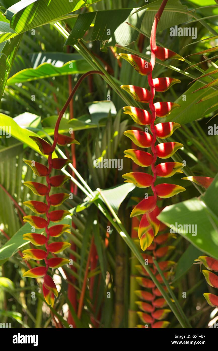 Sri Lanka, Galle Province, Unawatuna, Heliconia flowers in tropical garden - Stock Image