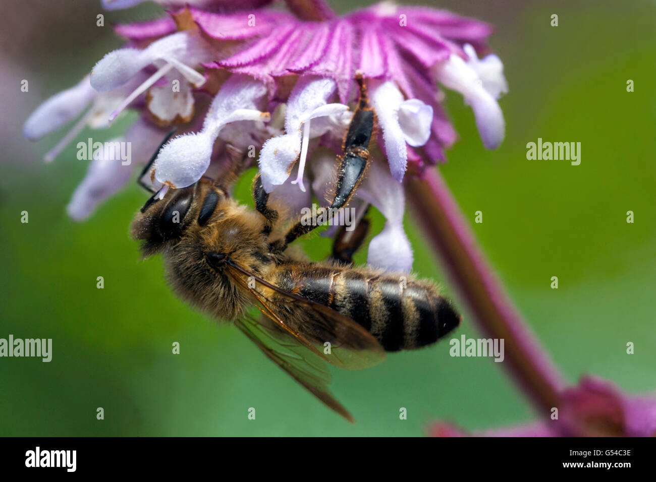 Bee on Salvia napifolia close up flower - Stock Image