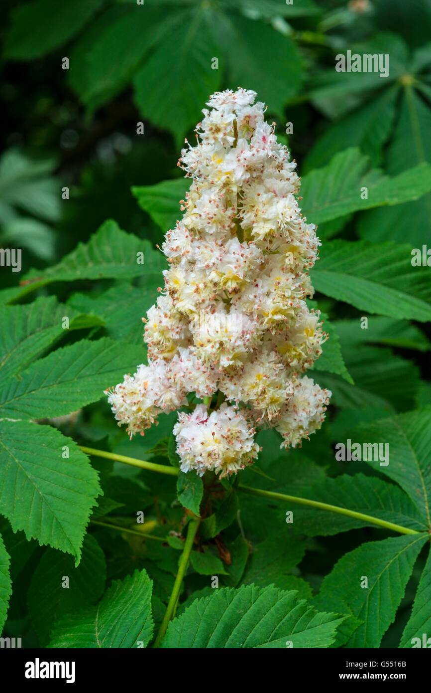 Horse Chestnut - Aesculus hippocastanum,  flower spikes, May, England. - Stock Image