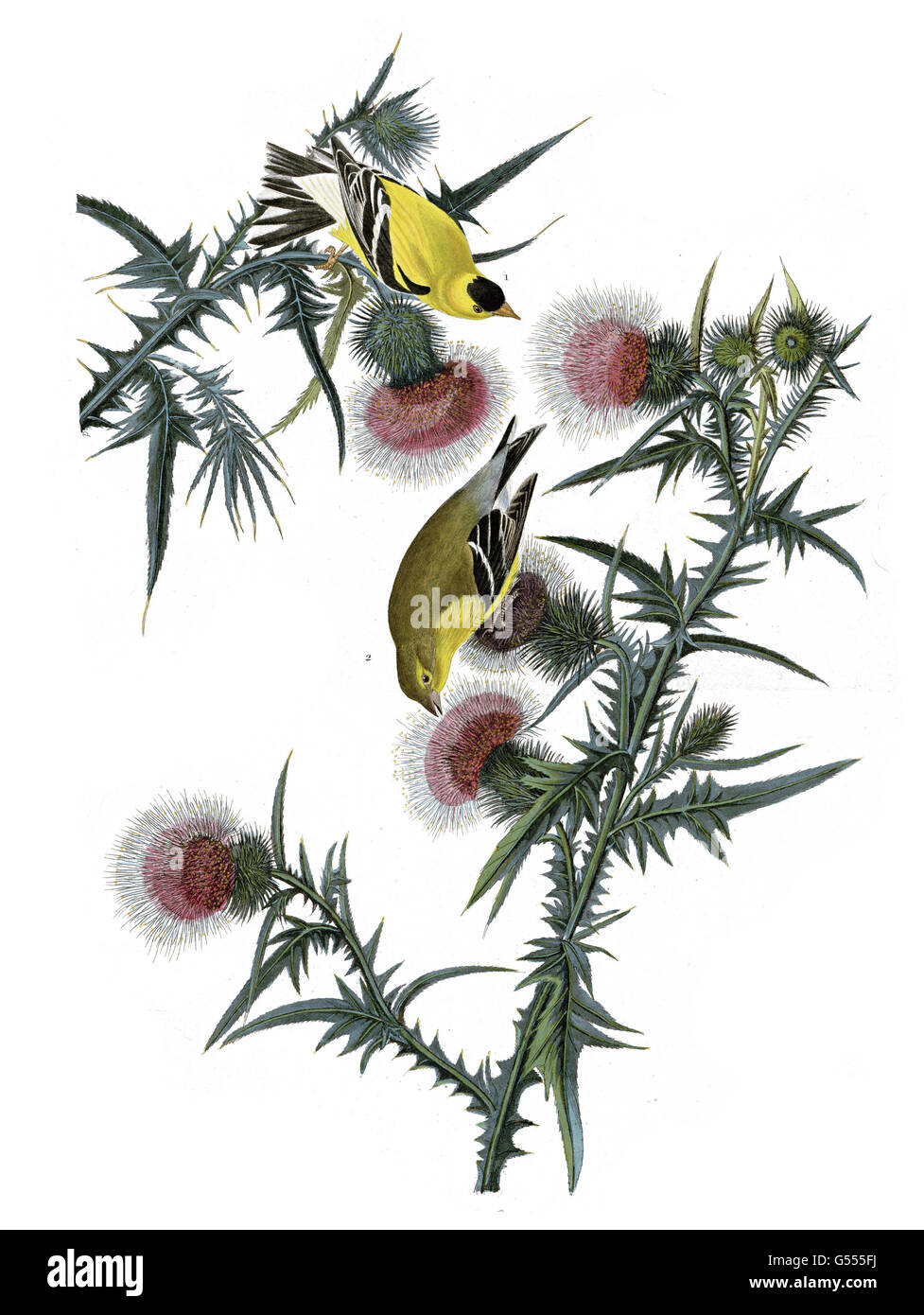 American Goldfinch, Carduelis tristis, birds, 1827 - 1838 - Stock Image