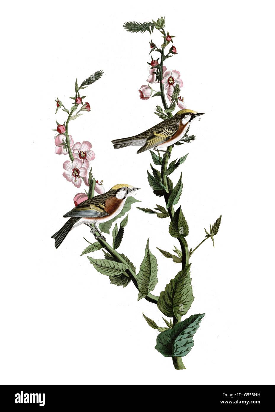 Chestnut-sided Warbler, Dendroica pensylvanica, birds, 1827 - 1838 Stock Photo