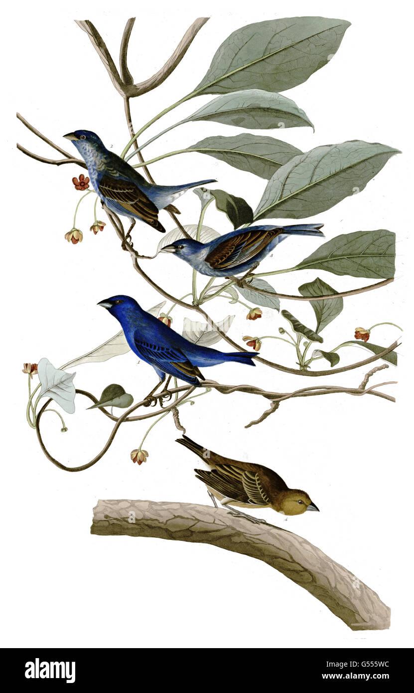Indigo Bunting, Passerina cyanea, Indigo Bird, birds, 1827 - 1838 - Stock Image