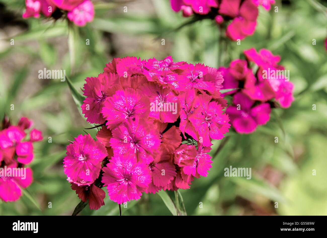Sweet William, Dianthus barbatus or carnation is  flowering plant in the family Caryophyllaceae,   Sofia, Bulgaria - Stock Image