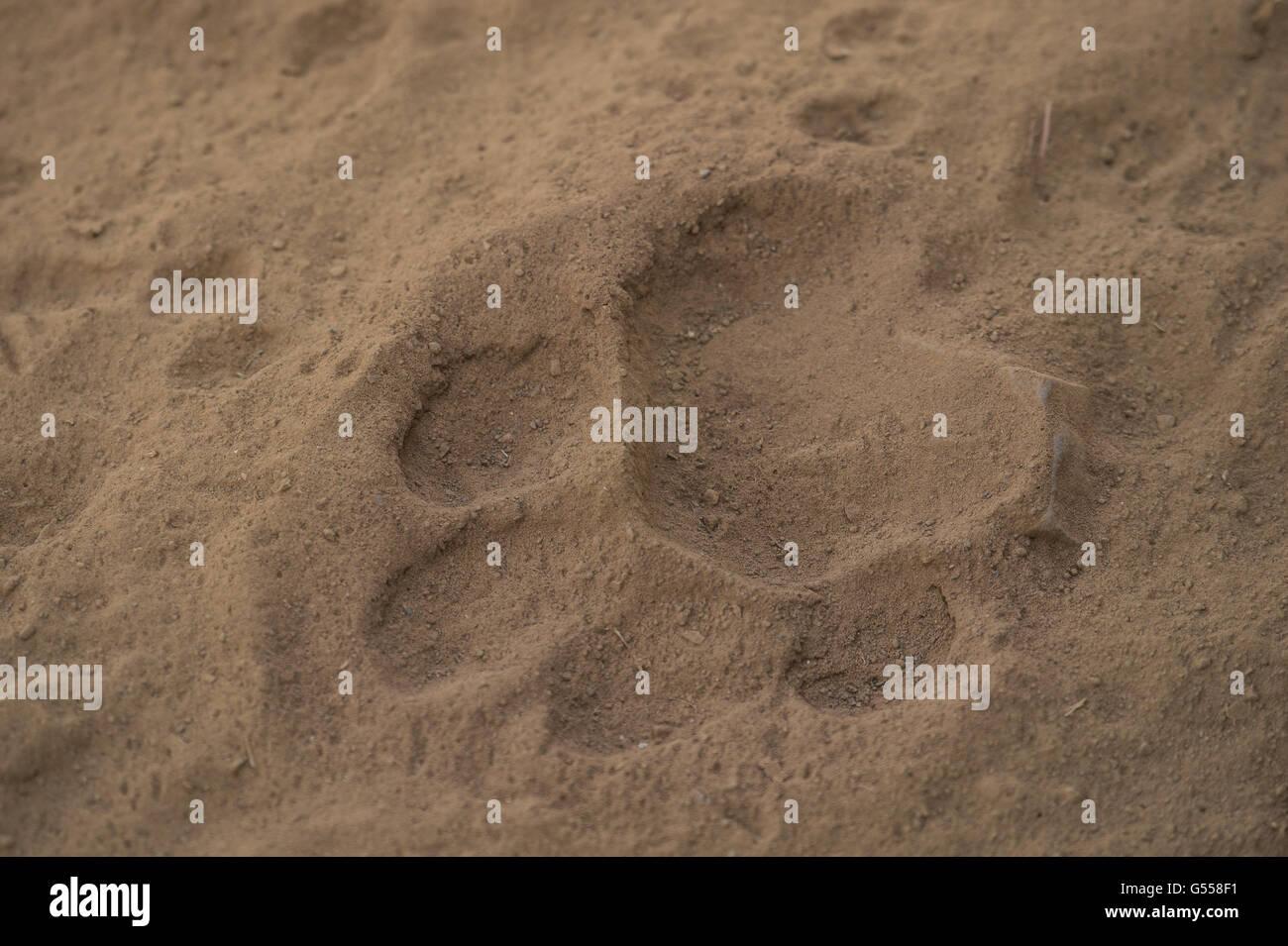 Footprints by Bengal tiger (Panthera tigris tigris), Ranthambore National Park, India, Asia - Stock Image