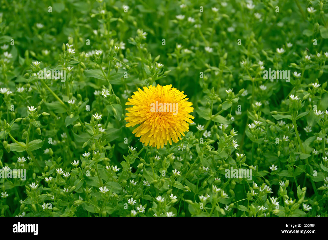 Small Fragrant Flowers In Season Stock Photos Small Fragrant