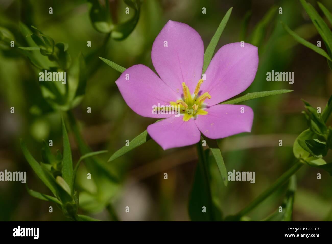 Prairie rose-gentian - Stock Image