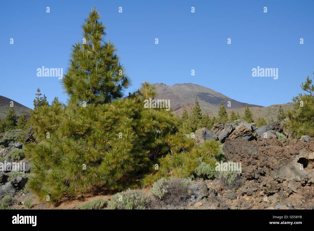 Canary island pines (Pinus canariensis), endemic to the Canaries, growing and among old volcanic lava flows below - Stock Image