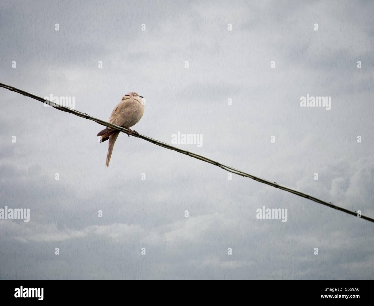 One soggy bird on the telephone wire. Rainy day background Stock ...