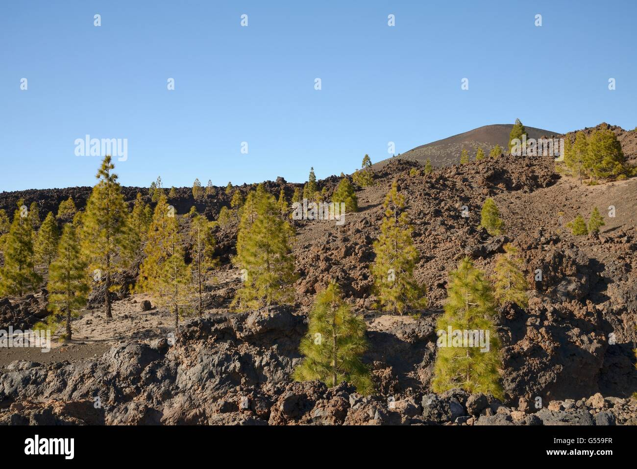 Canary island pines (Pinus canariensis), endemic to the Canaries, growing among old volcanic lava flows below Mount - Stock Image