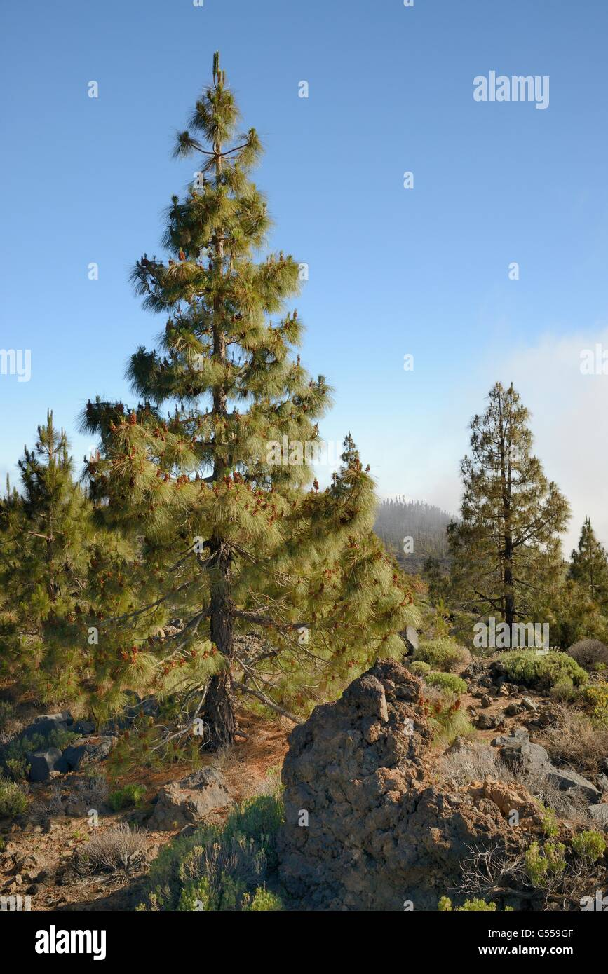 Canary island pines (Pinus canariensis), endemic to the Canaries, growing and producing many male cones among old - Stock Image