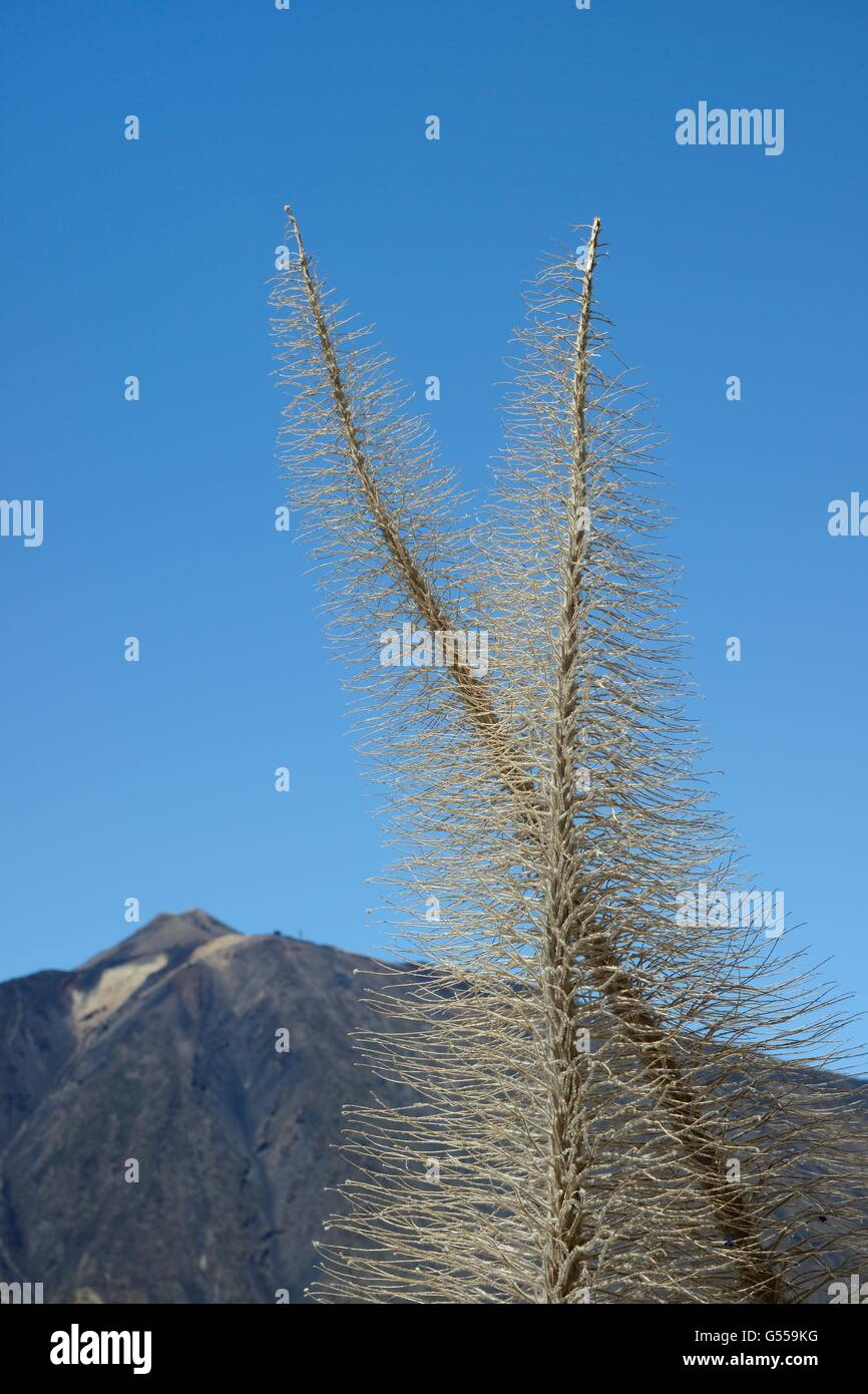 Dried skeletons of Mount Teide bugloss / Tower of jewels / Red Tajinaste (Echium wildpretii) flower spikes, Tenerife - Stock Image