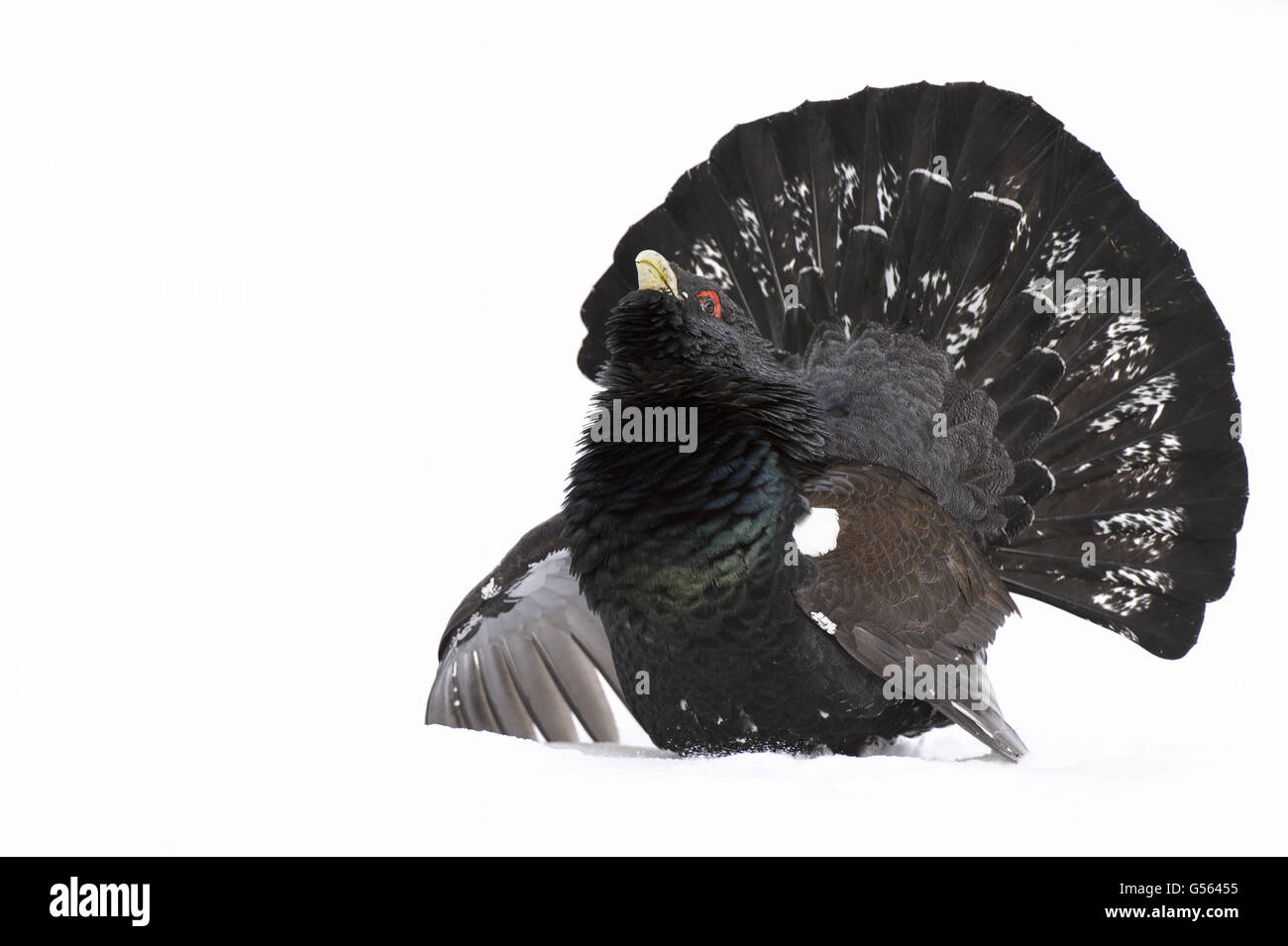 Western Capercaillie (Tetrao urogallus urogallus) adult male, displaying on snow in coniferous forest, Alvie Estate, - Stock Image
