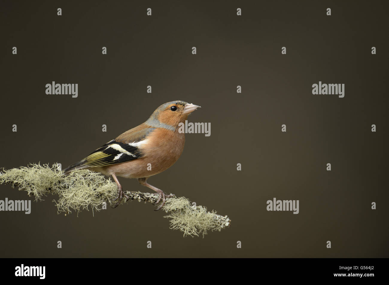 Common Chaffinch (Fringilla coelebs) adult male, perched on lichen covered twig, Abernethy Forest, Cairngorms N.P., - Stock Image