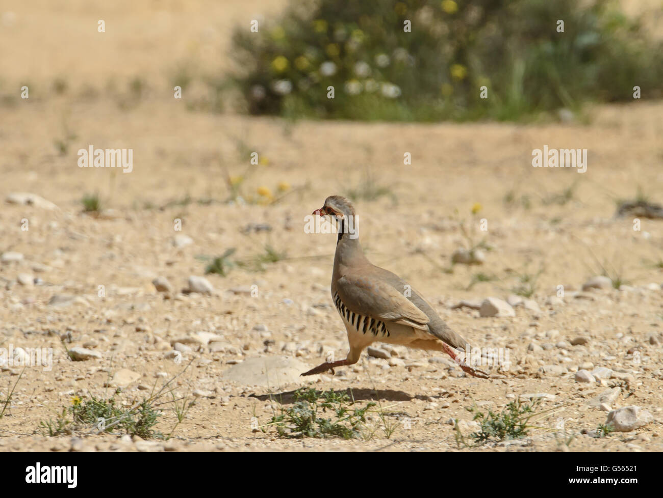 Chukar Partridge (Alectoris chukar) adult, running in desert Stock