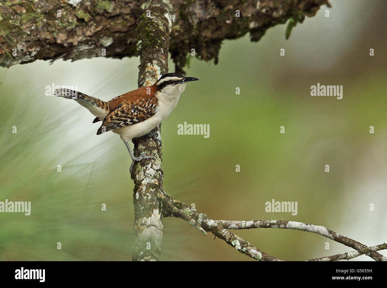 Rufous-naped Wren (Campylorhynchus rufinucha castaneus) adult, perched on branch, Lake Yojoa, Honduras, February Stock Photo