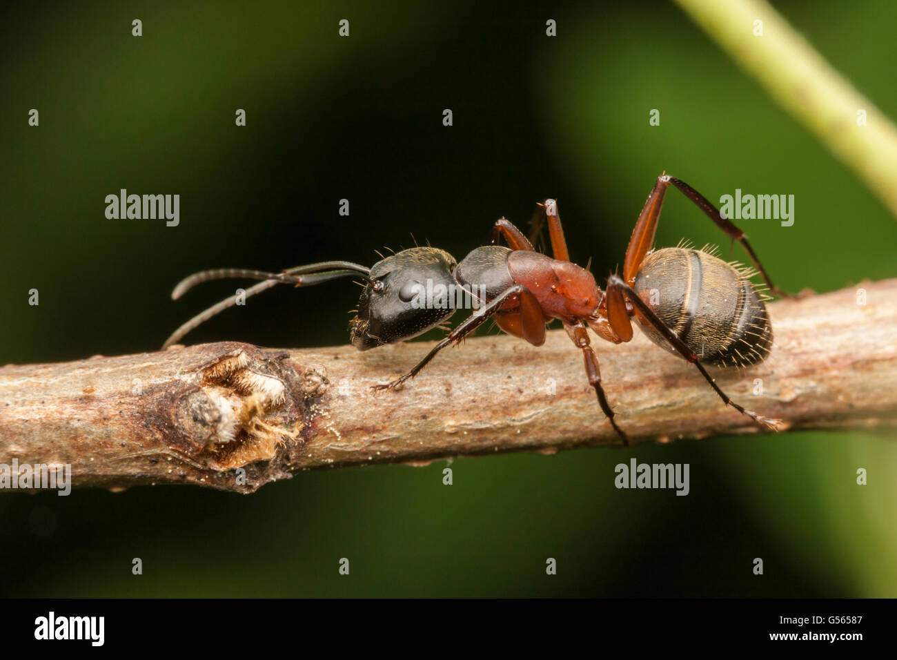 A Ferruginous Carpenter Ant (Camponotus chromaiodes) walks on a plant stem. - Stock Image