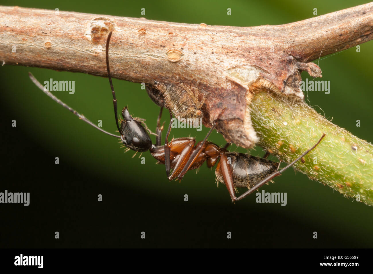A Ferruginous Carpenter Ant (Camponotus chromaiodes) tends a treehopper nymph for its honeydew. - Stock Image