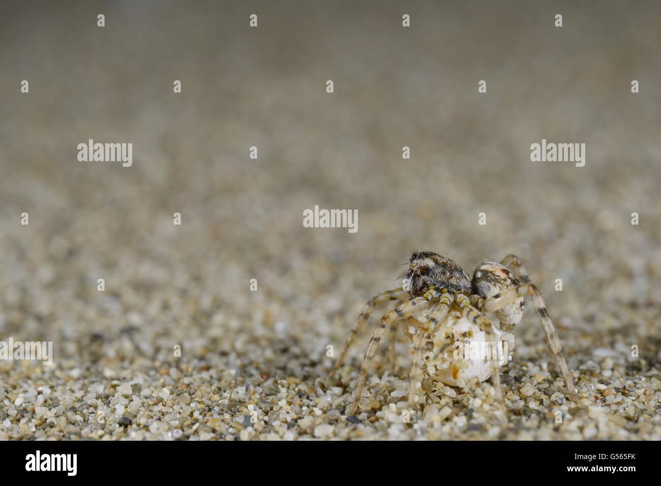 Sand Wolfspider (Arctosa perita) adult female, with ovisac, on sandy seashore, Italy, April - Stock Image