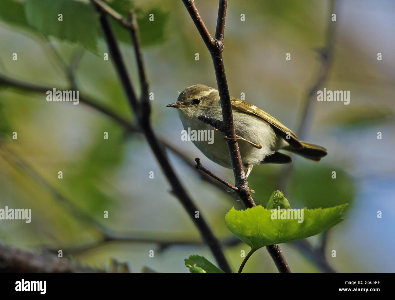Hume's Leaf-warbler (Phylloscopus humei mandellii) adult, perched on twig, Old Peak, Hebei, China, May Stock Photo