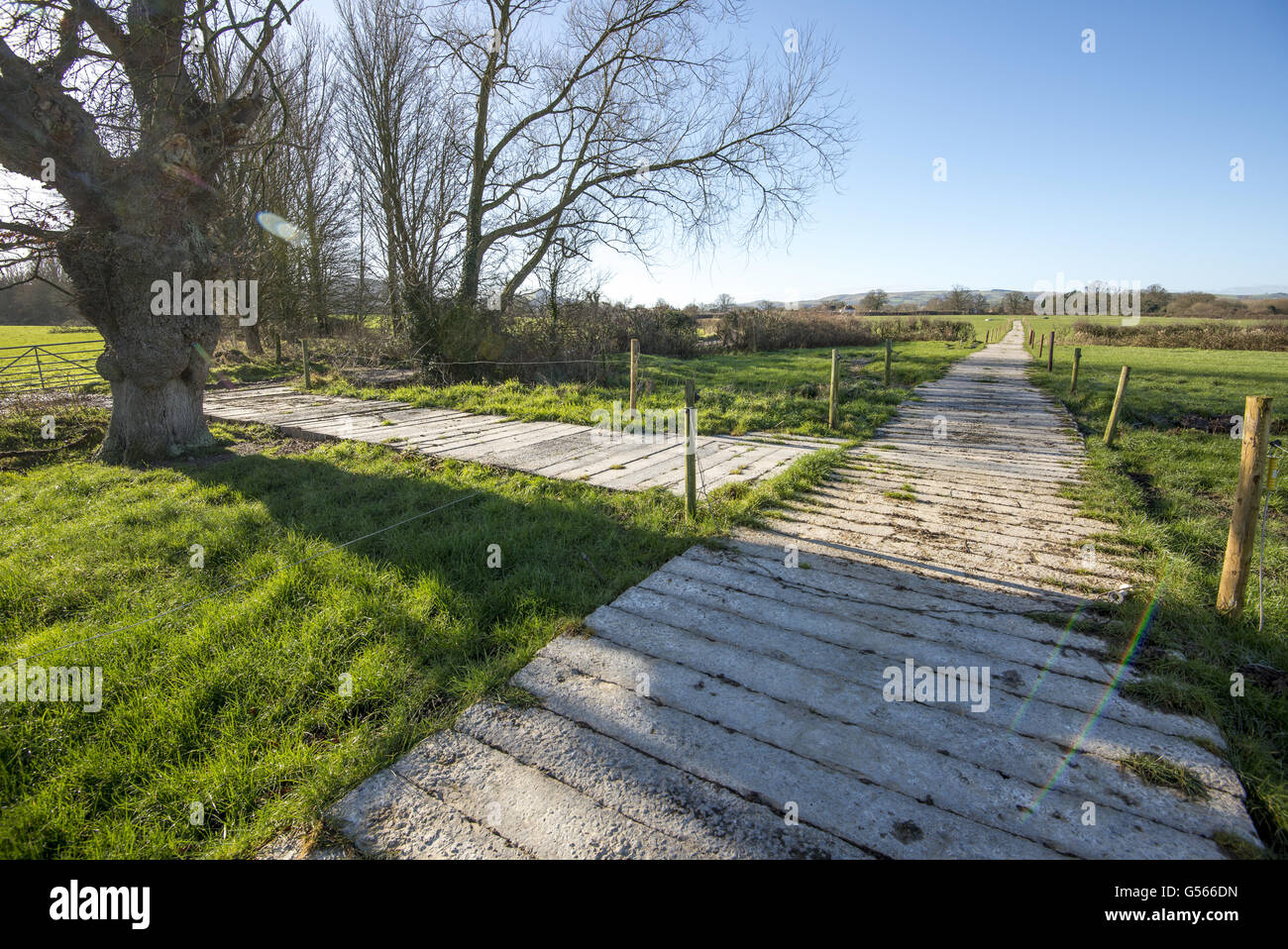Concrete railway sleeper cow tracks in pasture on dairy farm, Shropshire, England, February - Stock Image