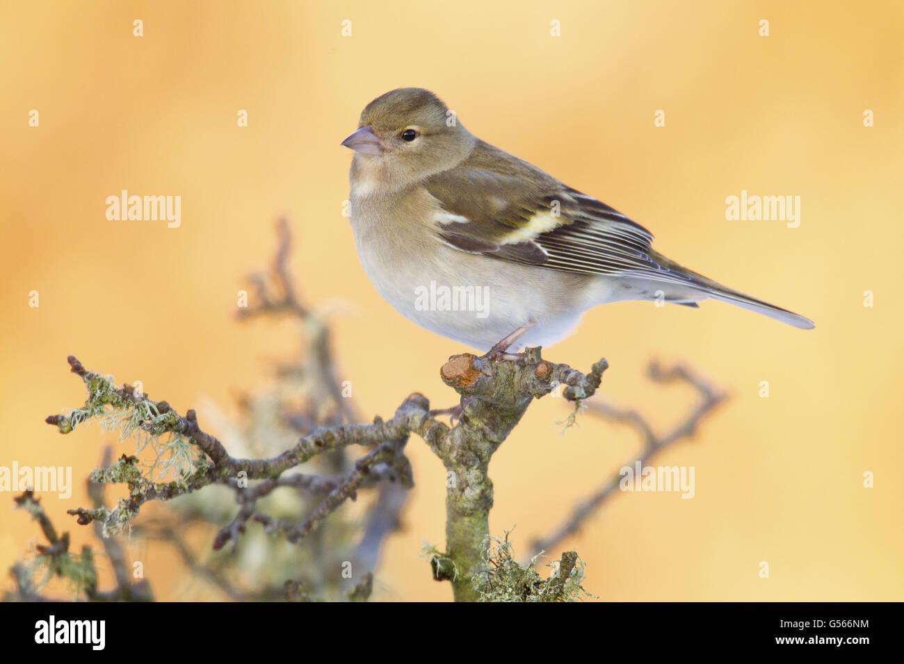 Common Chaffinch (Fringilla coelebs) adult female, perched on hawthorn twigs in garden, Duns, Berwickshire, Scottish - Stock Image