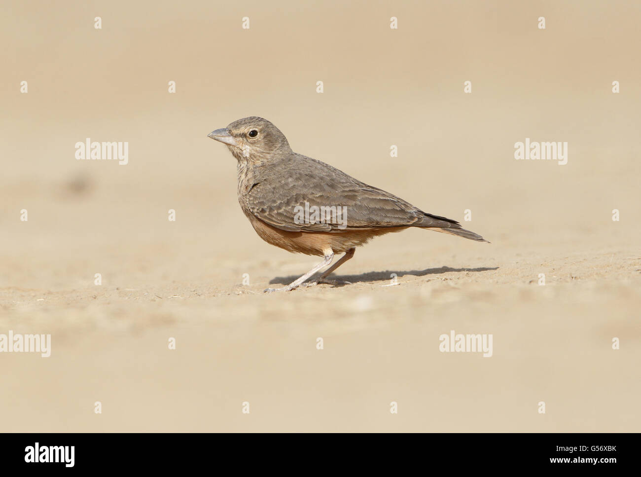 Rufous-tailed Lark (Ammomanes phoenicura) adult, standing on ground, Kutch, Gujarat, India, February - Stock Image