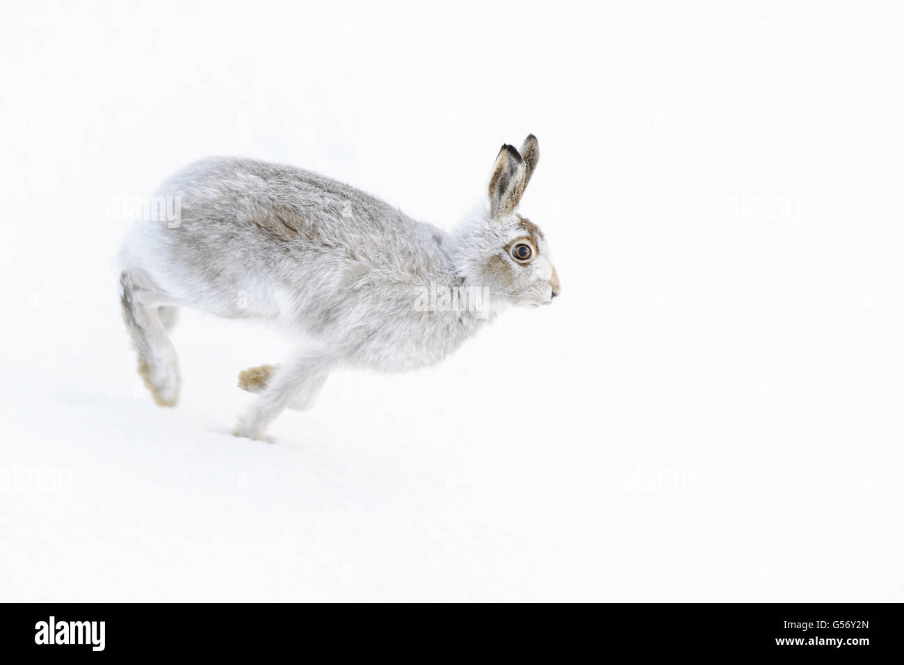 Mountain Hare (Lepus timidus) adult, in winter coat, running on snow covered hillside, Grampian Mountains, Highlands, - Stock Image