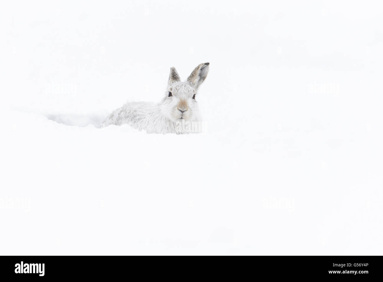 Mountain Hare (Lepus timidus) adult, in winter coat, sitting in form on snow covered hillside, Grampian Mountains, - Stock Image