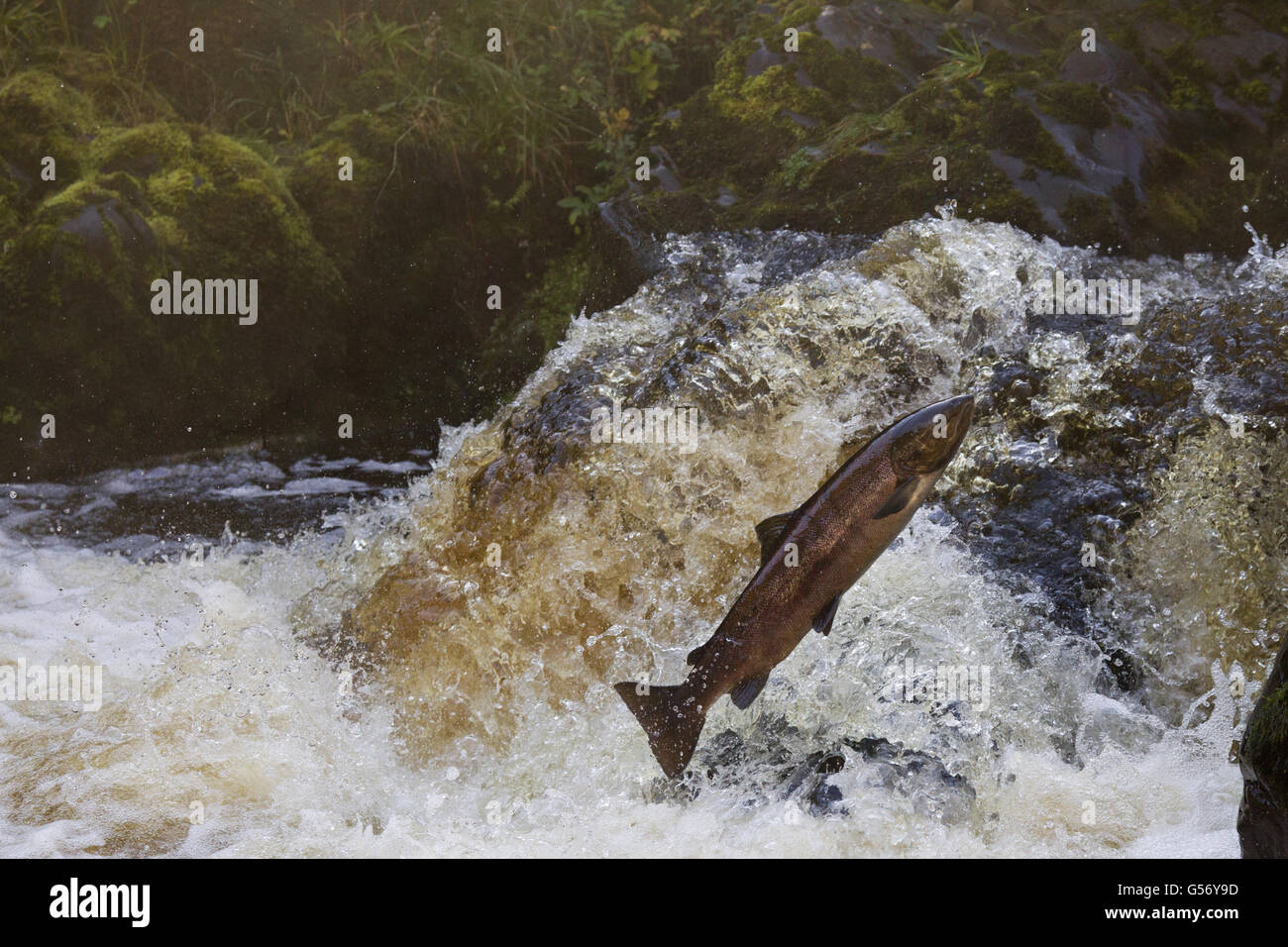 Atlantic Salmon (Salmo salar) adult, leaping up waterfall, moving upstream to spawning ground, River Whiteadder, Stock Photo