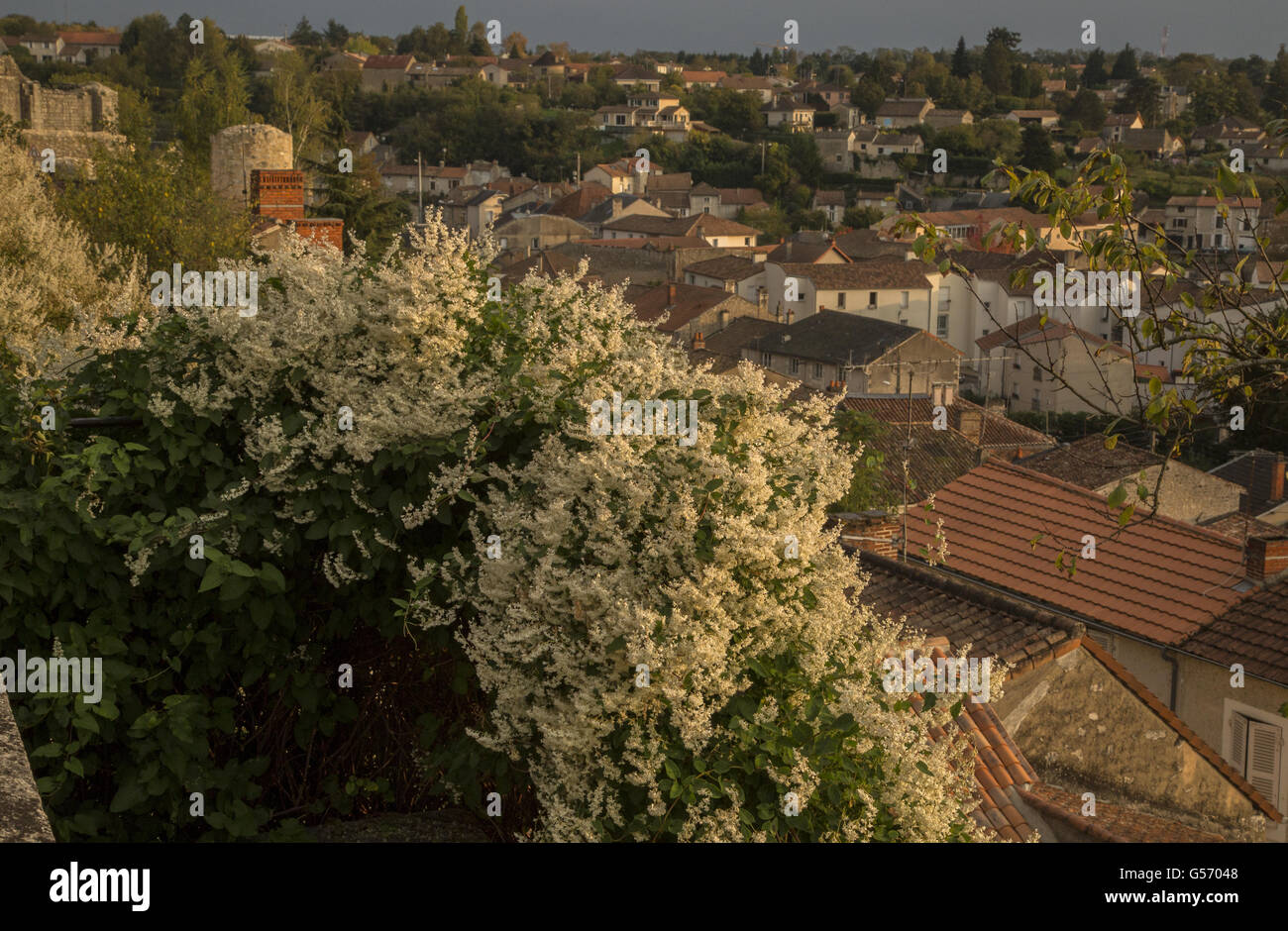 Silver Lace Vine (Fallopia baldschuanica) introduced species, flowering, growing in town, Chauvigny, Vienne, Poitou - Stock Image