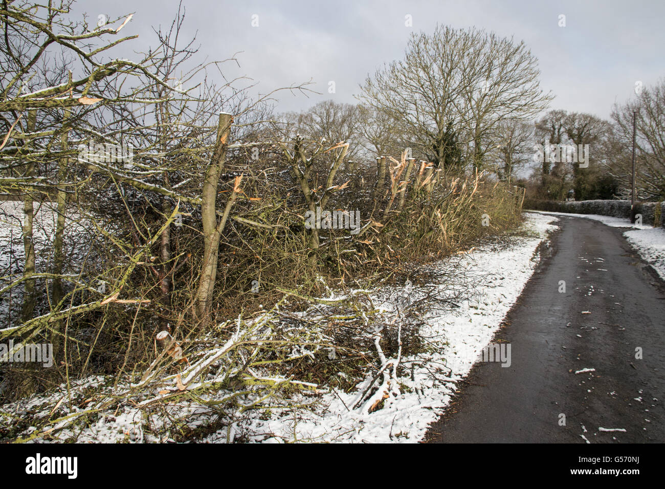 Badly flailed hedge - Stock Image