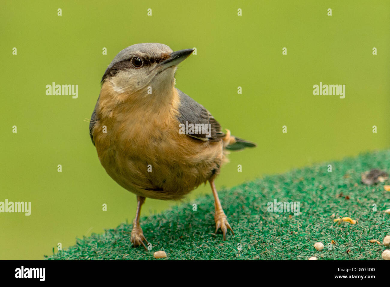 A nuthatch on a feeding table - Stock Image