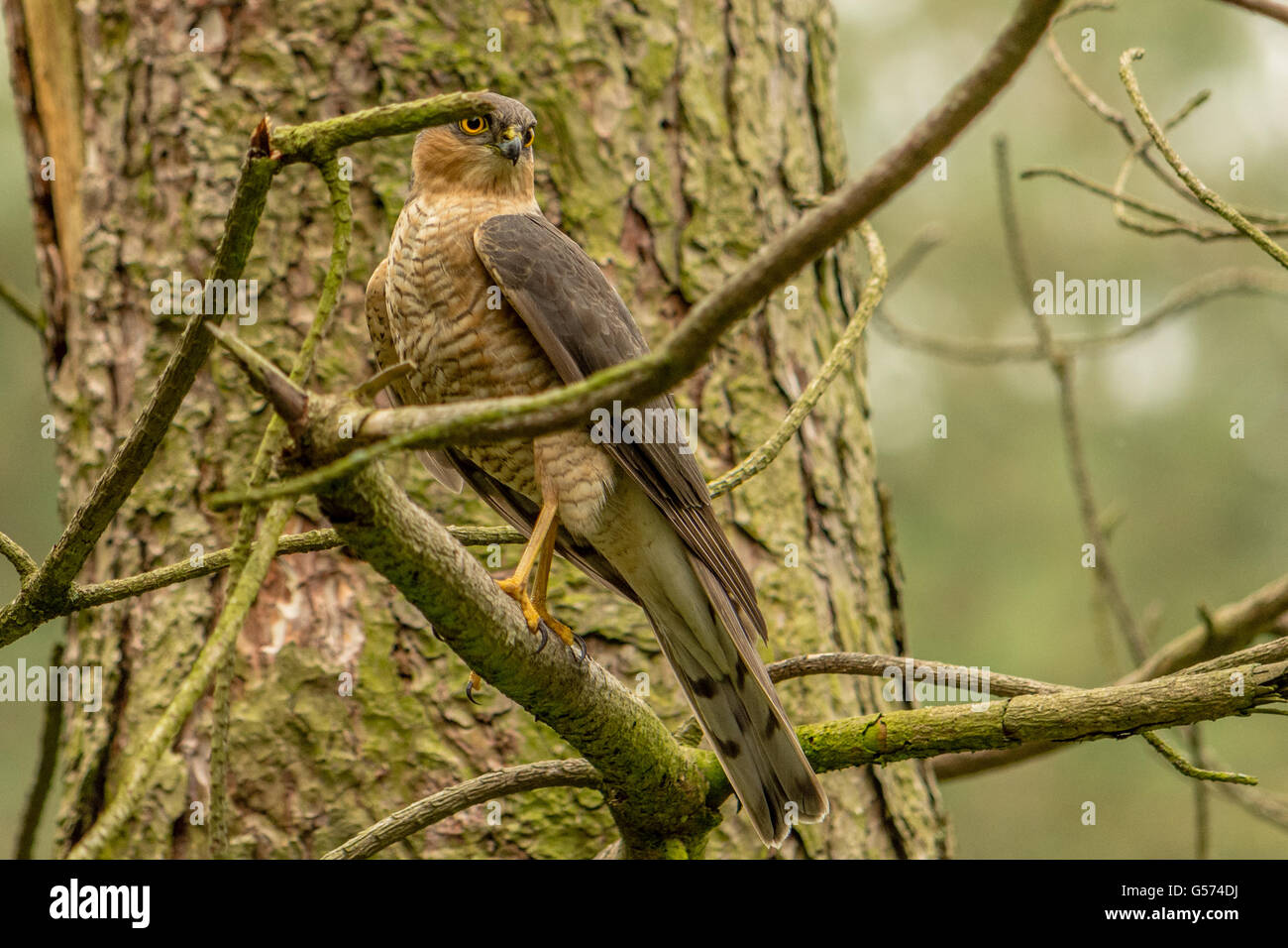 A sparrow hawk on the branch of a tree. - Stock Image
