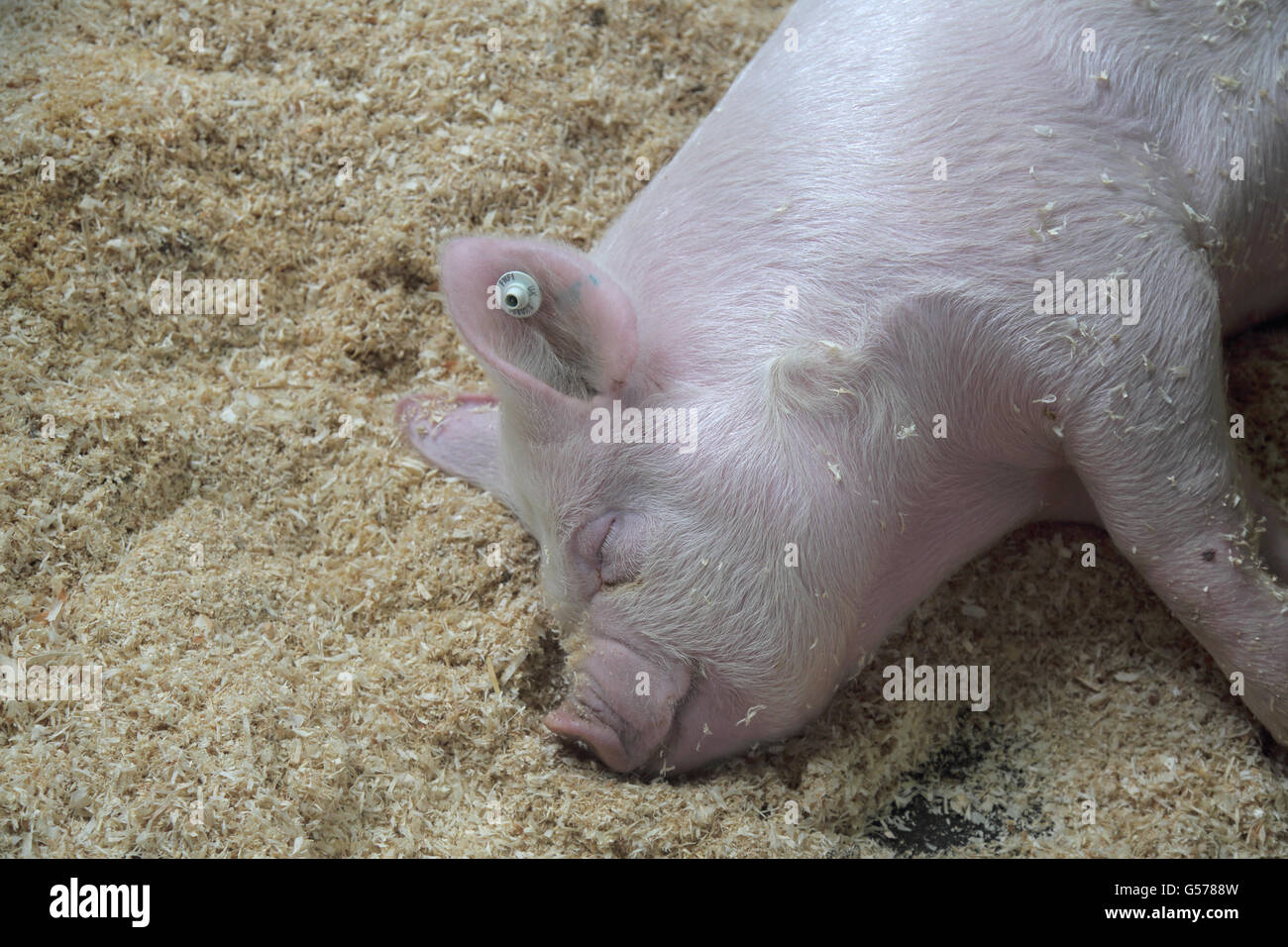 pig at the south of england show ardingly - Stock Image