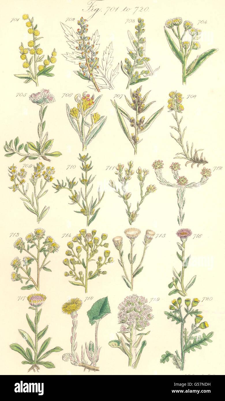 WILD FLOWERS:Wormwood Mugwort Cudweed Spikenard Flea-bane Stock