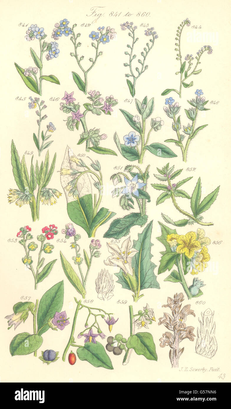 WILD FLOWERS: Forget-me-not Comfrey Deadly Woody Garden Nightshade. SOWERBY 1890 - Stock Image