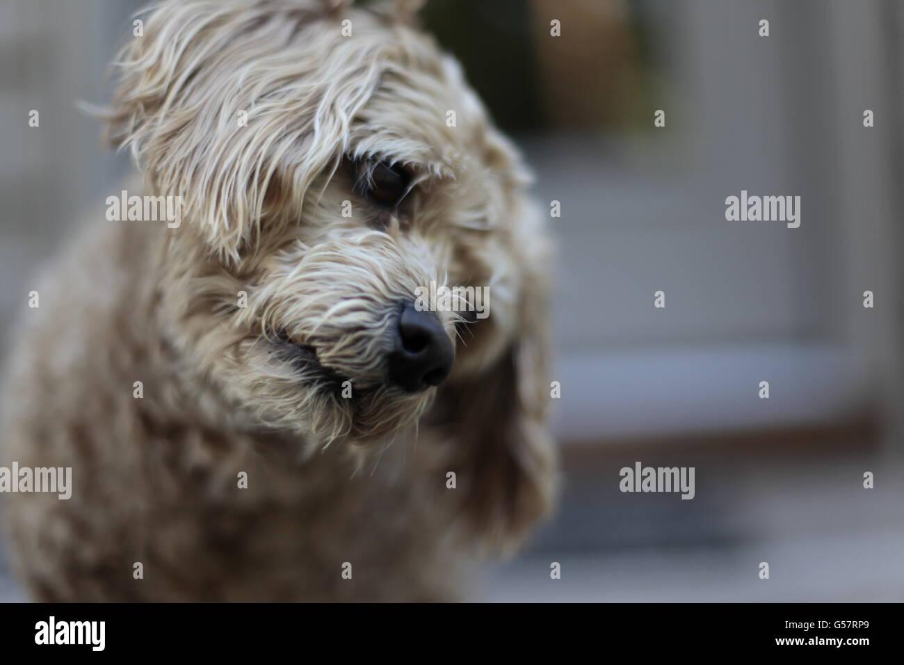 cute golden Cockapoo dog tilting head - Stock Image