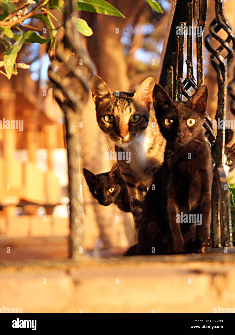 Family of cats sitting on fence and looking at camera - Stock Image