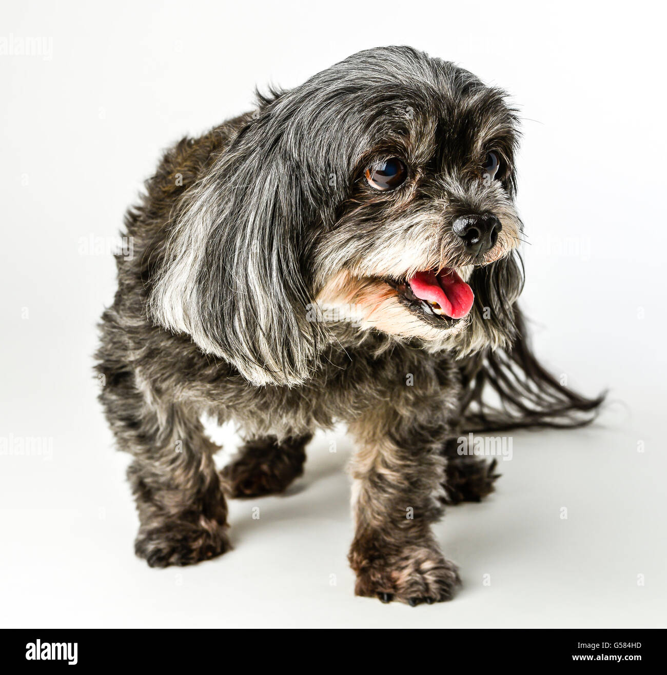 An adorable dark tri-colored mixed breed small dog with tongue out posing and smiling while walking on white background - Stock Image