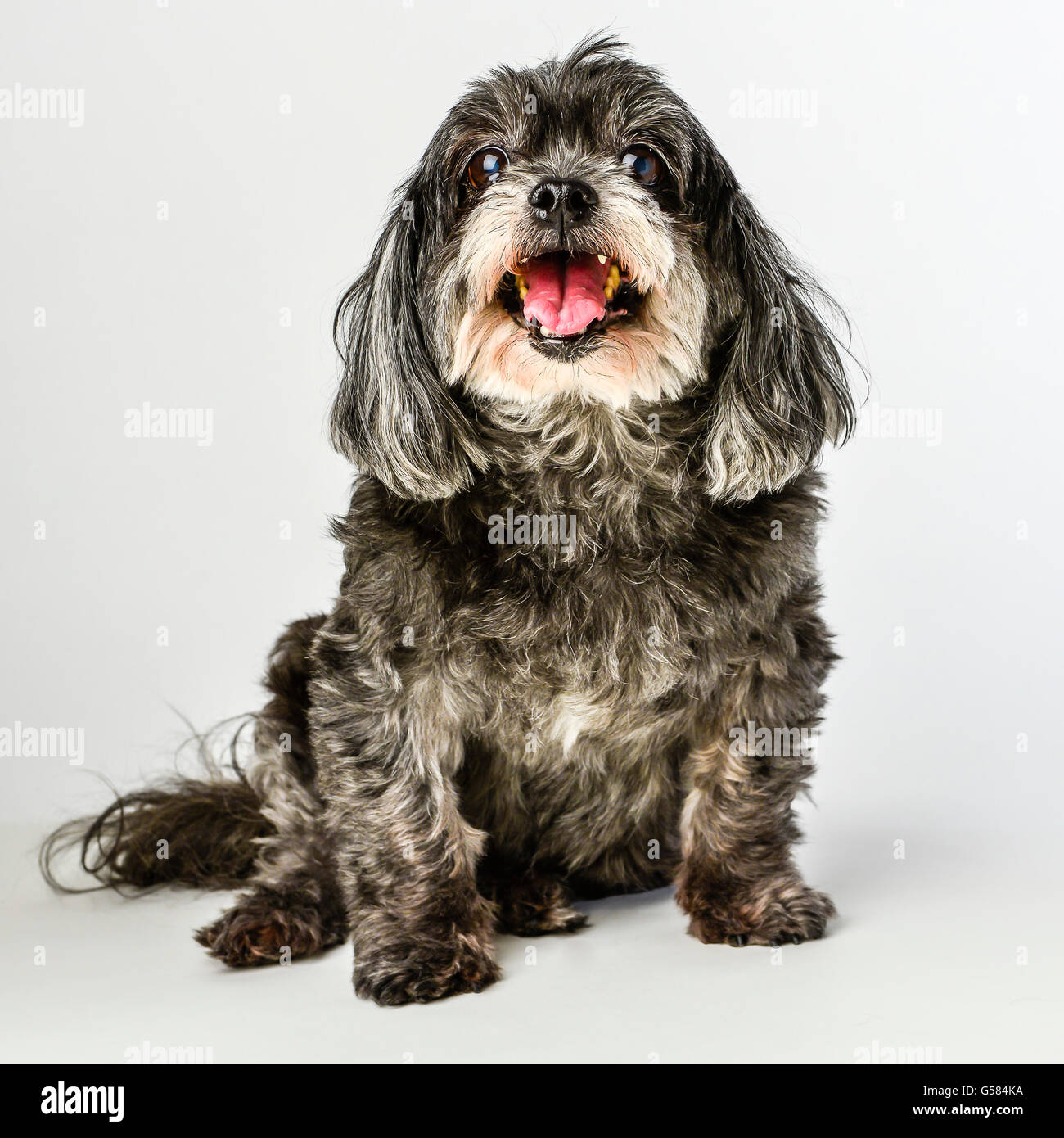 An adorable dark tri-colored mixed breed small dog with tongue out posing and smiling on white background - Stock Image
