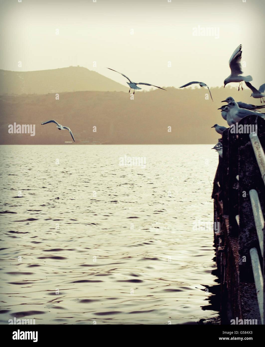 Seagulls - Stock Image