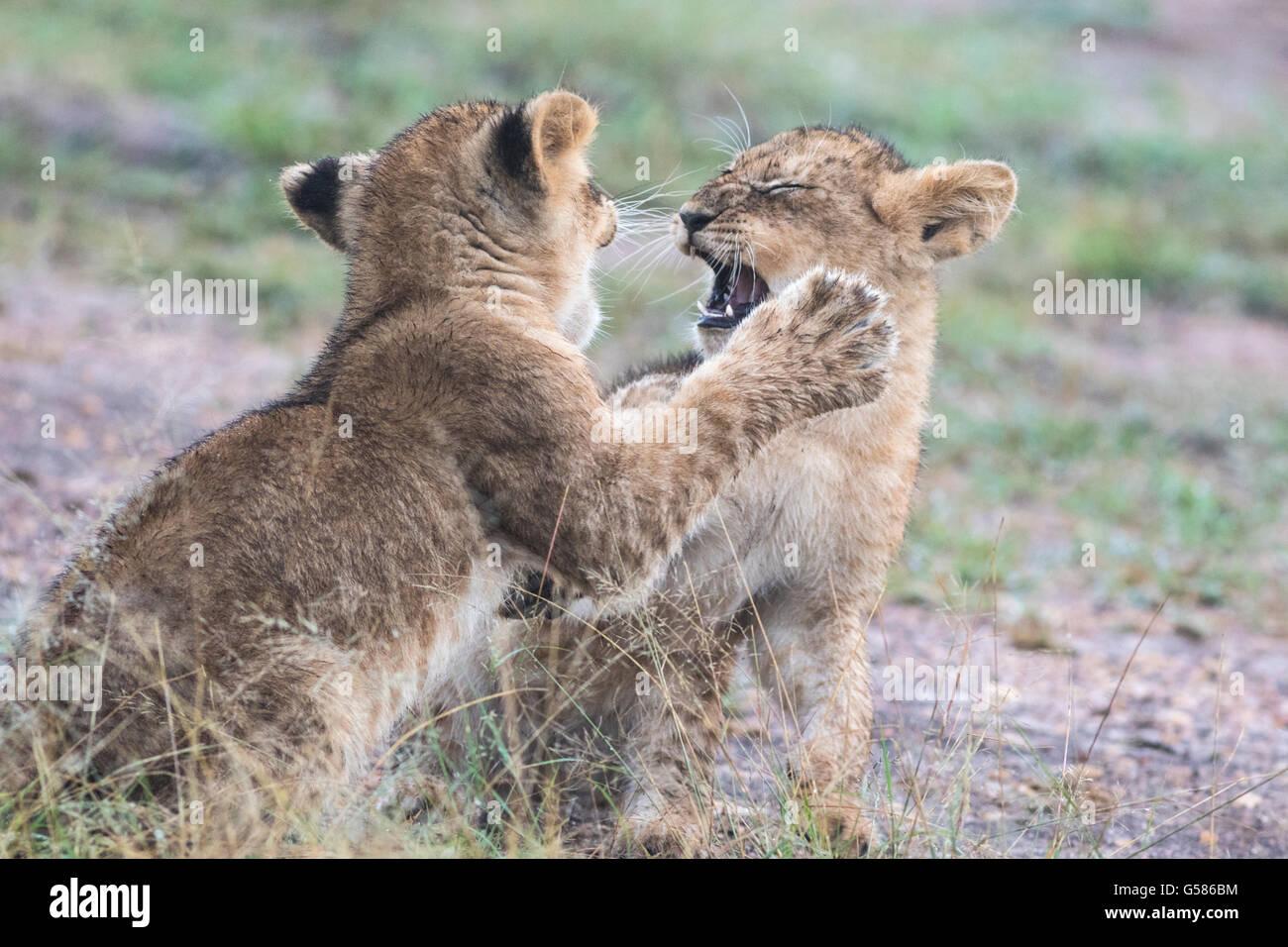 Two lion cubs fighting or playing, Masai Mara, Kenya, Africa - Stock Image